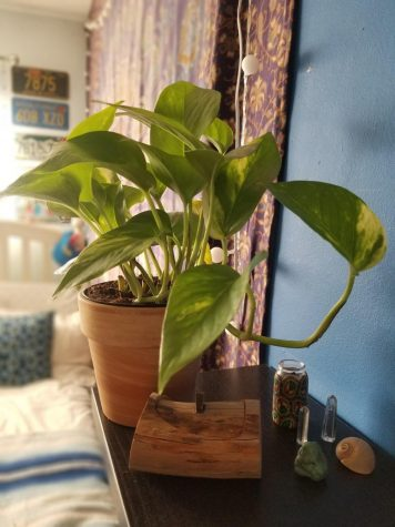 This is a fully grown indoor pothos plant. PHOTO BY LIORA BRILL.